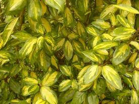 Elaeagnus pungens 'Maculata' (Маслинка колюча) - живопліт фото