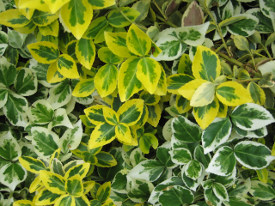 Euonymus fortunei haag heg haie hedge Hecke Zaun