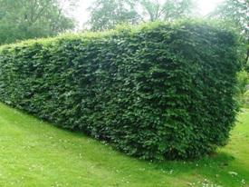 Fagus sylvatica beuk haag heg haie hedge Hecke Zaun