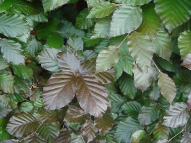 Fagus sylvatica Atropunicea Atropurpurea haag heg haie hedge Hecke Zaun