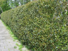 Ilex aquifolium (Падуб гостролистий) - живопліт фото