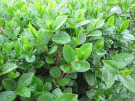 Ligustrum ovalifolium liguster haag heg haie hedge Hecke Zaun