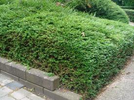 Lonicera nitida struikkamperfoelie haag heg haie hedge Hecke Zaun