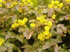 Mahonia aquifolium haag heg haie hedge Hecke Zaun