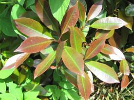 Photinia glansmispel haag heg haie hedge Hecke Zaun