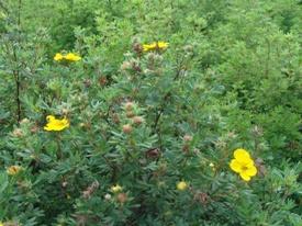 Potentilla fruticosa ganzerik haag heg haie hedge Hecke Zaun