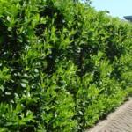 Prunus_l