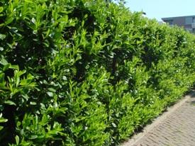 Prunus laurocerasus Rotundifolia haag heg haie hedge Hecke Zaun