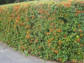 Pyracantha vuurdoorn haag heg haie hedge Hecke Zaun