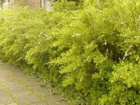 Spiraea cinerea Grefsheim spierstruik haag heg haie hedge Hecke Zaun