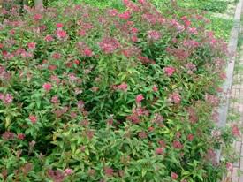 Spiraea japonica 'Anthony Waterer' spierstruik haag heg haie hedge Hecke Zaun
