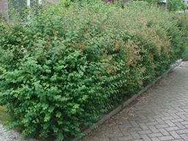 Symphoricarpos albus sneeuwbes haag heg haie hedge Hecke Zaun