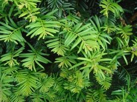 Taxus baccata (Тис ягідний) - живопліт фото