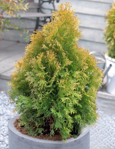 Thuja occidentalis Golden Anne
