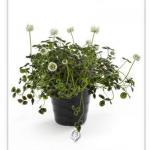 Trifolium-Josephine