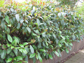 Viburnum davidii haag heg haie hedge Hecke Zaun