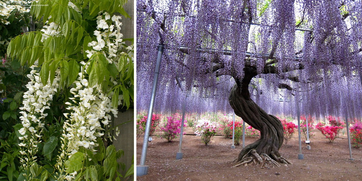 Японская глициния (Wisteria floribunda) фото