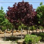 acer-platanoides-royal-red-1