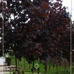acer-platanoides-royal-red-2