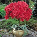 azalea-rododendron-2