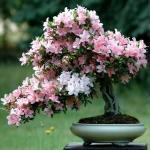azalea-rododendron-3