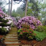 azalea-rododendron-4