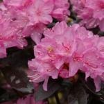 azalea-rododendron-5
