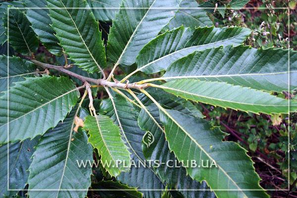 Castanea sativa или каштан съедобный, фото
