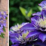 clematis-multi-blue