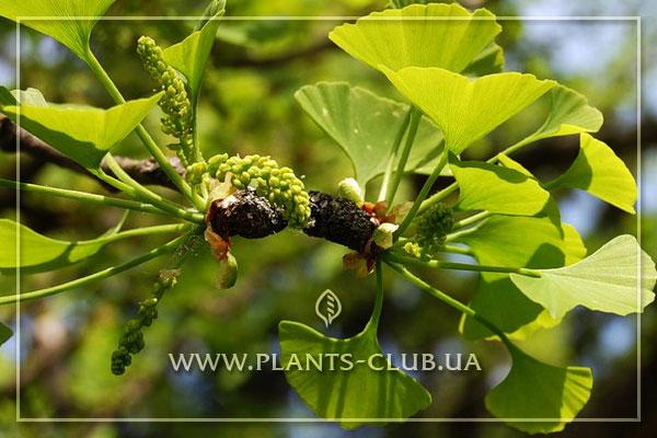 Листья дерева гинкго билоба фото