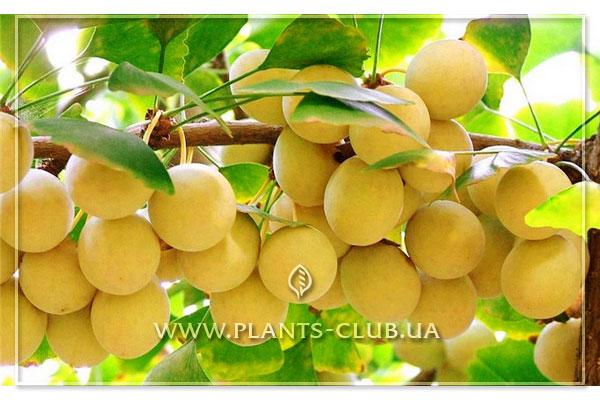 Плоды дерева гинкго билоба фото