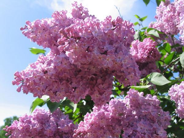 Сирень, фотография сирени, пример цветков сирени