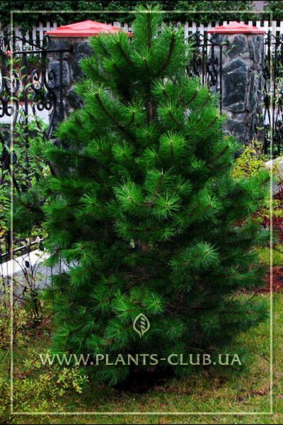 pinus-nigra-1