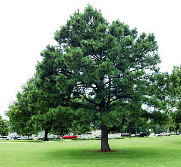 Pinus nigra або чорна сосна