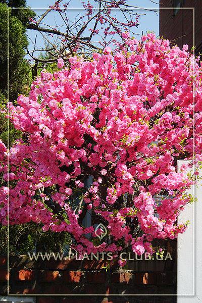 """Миндаль трехлопастной фото, садовый центр """"Клуб Растений"""""""